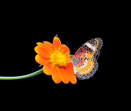 giant sunflower: Butterfly on Sunflower on a black background