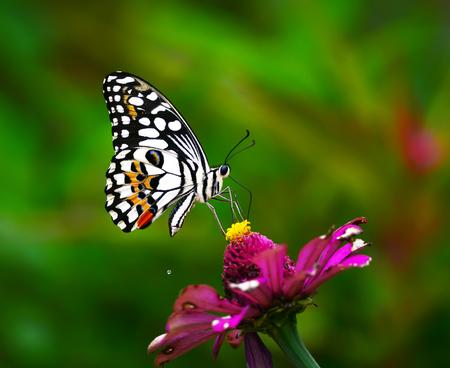 Beautiful Butterfly on Pink flowers