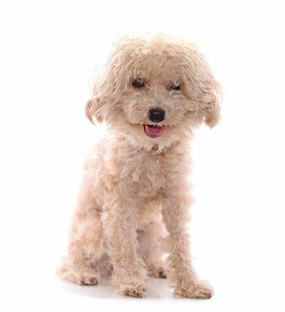 Poodle Dog isolated on the white background. 스톡 콘텐츠