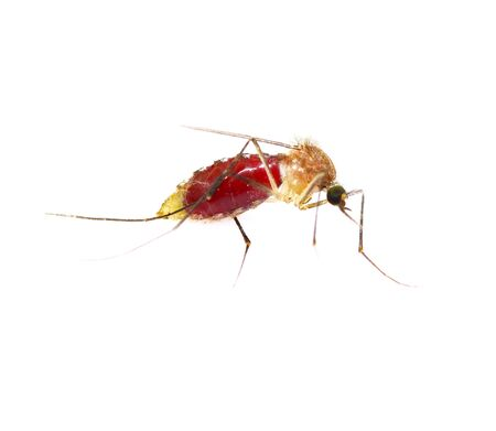 Mosquitoes are blood full stomach