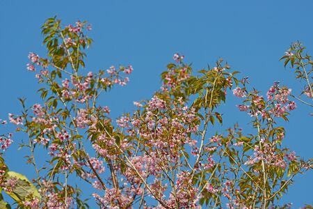Beautiful Cherry blossom , pink sakura flower in thailand Zdjęcie Seryjne