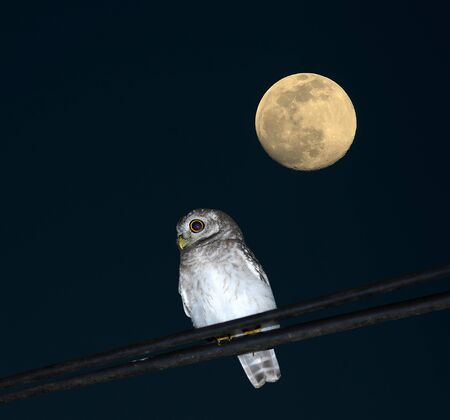 spotted owlet Bird and moon of Thailand