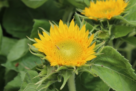 Large sunflower in blossom- close-up photo