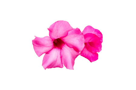 co: pink desert rose flower closeup isolated on white background
