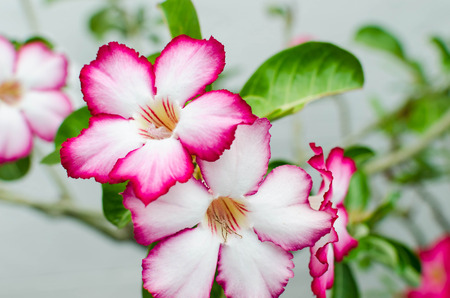 mock azalea: Close-up Impala Lily or desert rose or Mock Azalea Stock Photo