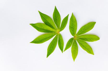leaf vegetable: leaf manioc on write background