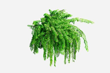 Green leaves of Boston fern isolated on white background.