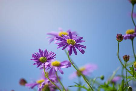 Purple Michaelmas daisies in blue sky Stock Photo