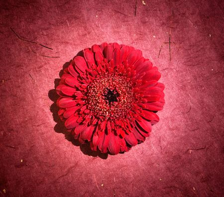 perfect red gerbera in beautiful full blossom with focused spotlight photo
