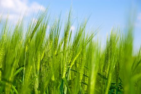 Closeup of green wheat field growing in summertime  Stock Photo