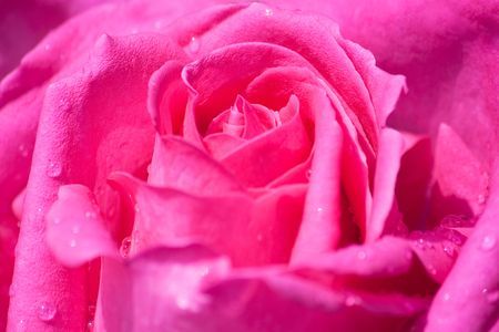 Close up of pink rose in full blossom with water drops