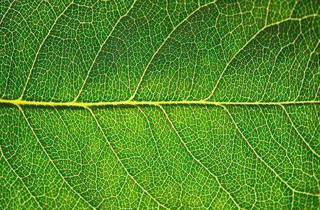 Green leaf texture in sunshine, macro