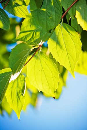 Green leafs in sunlight with blue sky Stock Photo