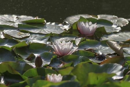 pflanzen: Seerosen im Park der Universit�t Augsburg