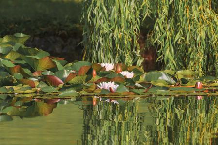 seerosen: Seerosen im Park der Universit�t Augsburg