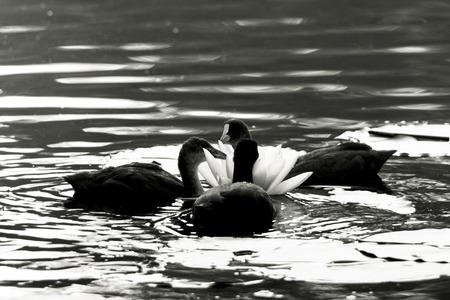 seerosen: Bläßhühner on a water lily