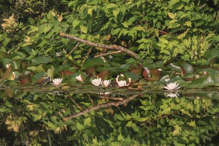 seerosen: Seerosen im Park der Universität Augsburg