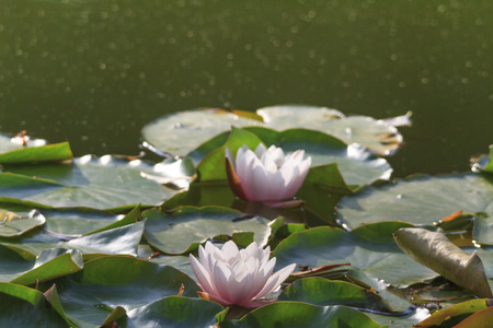 Water lilies in the Park of the University of Augsburg