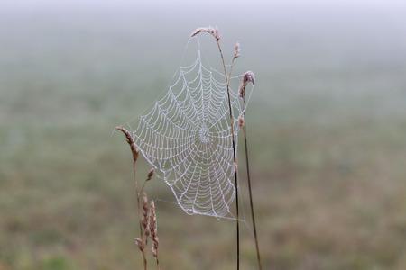 pflanzen: taufeuchte Spinnweben an Gräsern an einem nebligen Morgen im Herbst Stock Photo