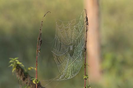 pflanzen: taufeuchte Spinnweben an Gräsern an einem nebligen Morgen im Herbst Editorial