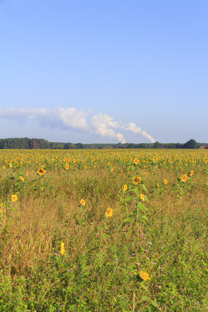 Hinter dem Sonnenblumenfeld rauchen die Kühltürme des Braunkohlekraftwerks Boxberg