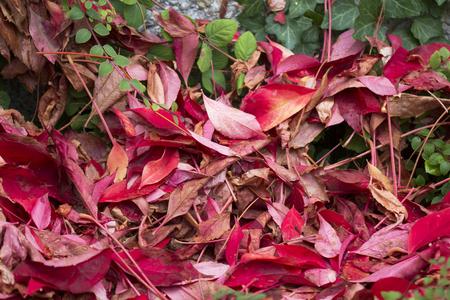 pflanzen: Herbstliches Ahornlaub