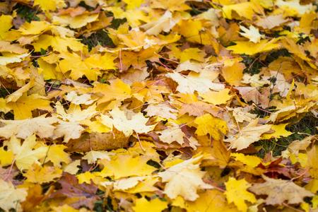 herbst: Herbstliches Ahornlaub