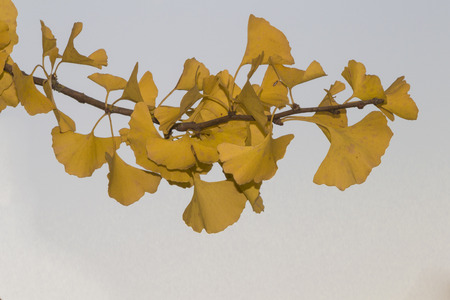 pflanzen: Gingkoblatt