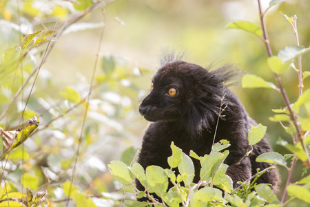 Black Moor-lemur sits in the bushes and eats leaves