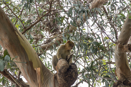 Barbary macaque from Gibraltar sits in the branches of a tree Standard-Bild
