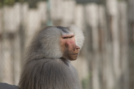 Portrait of a male baboon Imagens