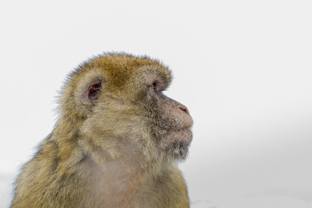 Portrait of a European Barbary macaque from Gibraltar Standard-Bild
