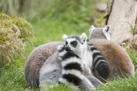 The Ring-tailed Lemur cuddle up to sleep in a meadow together