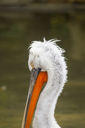 A Dalmatian Pelican brushing on a branch in the water