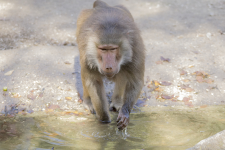 Baboon is looking for food on the water