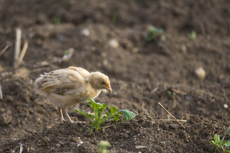 young chicken chick comes across in search of food Standard-Bild