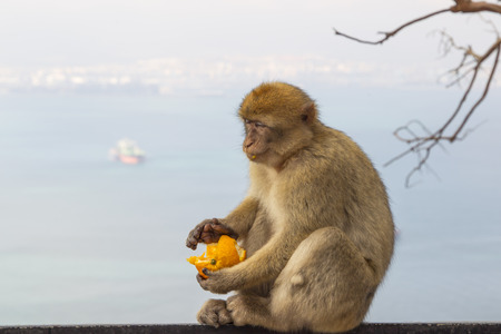 Barbary macaque from Gibraltar sits on a railing and eats an orange