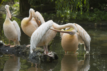 A reat white pelican brushing on a branch in the water Standard-Bild
