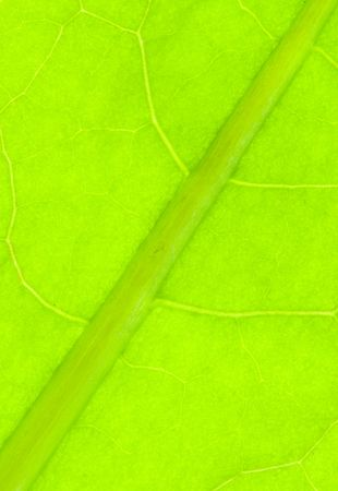 nervation: Detail of nervation of al leaf blade of dandelion - macro