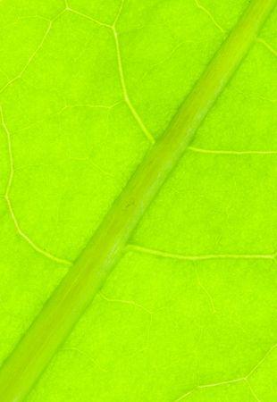 nervation: Detail of nervation of al leaf blade of dandelion - macro