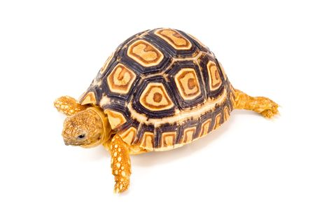 a young tortoise - Geochelone Pardalis - on the white background - close up photo