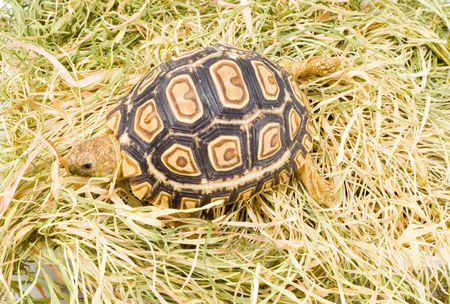 a young tortoise - Geochelone Pardalis - on the dry grass - close up Stock Photo - 3038655