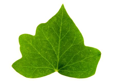 Detail of a leaf blade of ivy over white