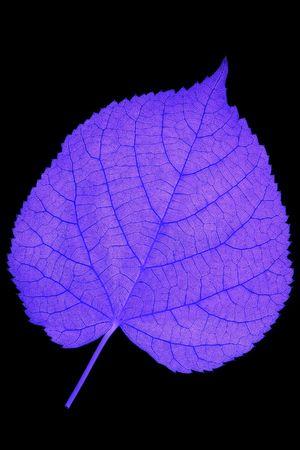 nervation: Detail of nervation of a leaf blade - inverted Stock Photo