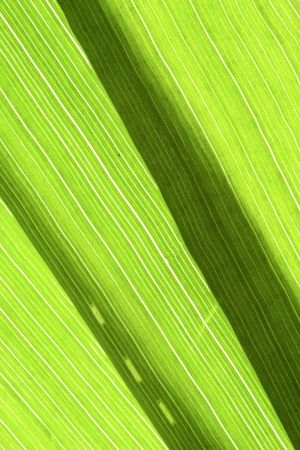 nervation: detail of the venation of grass blades Stock Photo