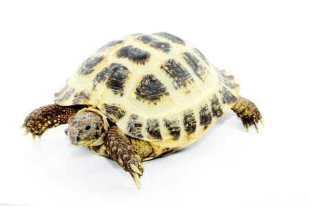 a young tortoise - Testudo horsfieldi - on the white background - close up