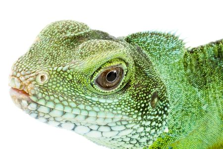 head and face of an adult agama Physignathus cocincinus Stock Photo - 3239426
