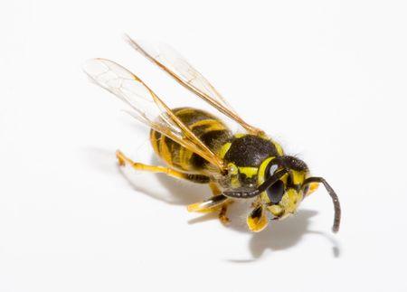 detail of a common wasp - Vespula vulgaris photo