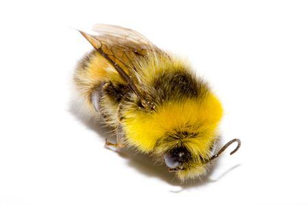 bombus: detail of a bumblebee (bombus) on the white background