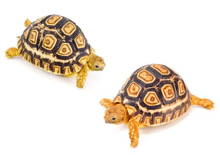 two young tortoises - Geochelone Pardalis - meeting each other photo